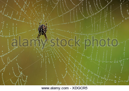 cross orbweaver, European garden spider, cross spider (Araneus diadematus), sitting in the middle of her web covered with water drops, Germany, North Rhine-Westphalia - Stock Photo