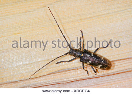 Carpenter sawyer beetle (Monochamus sartor), female, Germany - Stock Photo