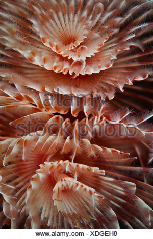 Magnificent Tube Worm, Protula magnifica, Lembeh Strait, North Sulawesi, Indonesia - Stock Photo