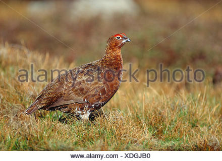 UK. North Yorkshire Dales. Red Grouse on Reeth High Moor. - Stock Photo