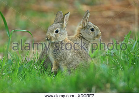 European Rabbit (Oryctolagus cuniculus). Two indididuals in grass. Germany - Stock Photo