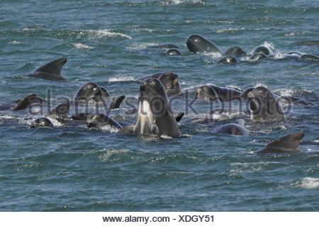 Long-finned Pilot Whale - Globiocephala melaena - Stock Photo