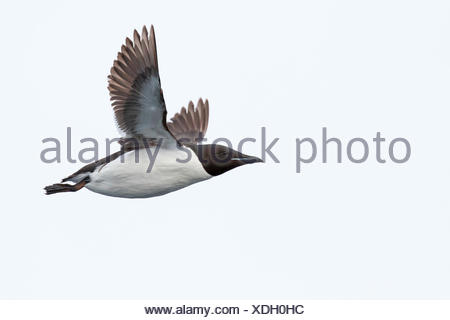 Thick-billed murre (Uria lomvia), in flight, Spitsbergen, Norway - Stock Photo