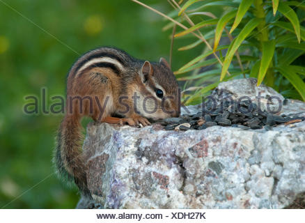 Close-up of Eastern chipmunk ,Tamias, filling cheek pouches with seed.  Grand Portage State Park, Minnesota, USA - Stock Photo