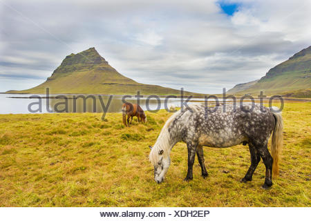 Horses grazing in a meadow near Kirkjufell Mountain, on Iceland's coast. - Stock Photo