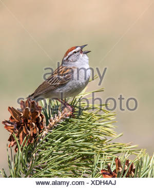 A male Chipping Sparrow, Spizella passerina, sings from a spruce tree in Saskatchewan, Canada - Stock Photo