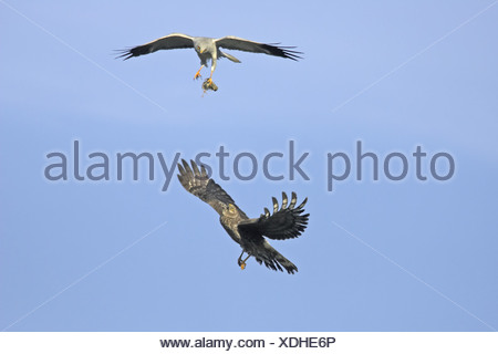 Hen Harrier (Circus cyaneus) adult pair, making food pass, in flight, Sutherland, Scotland, spring - Stock Photo