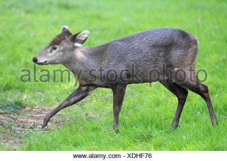 Tufted deer Elaphodus cephalophus - Stock Photo