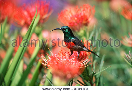 Portrait of a Greater Double-collared Sunbird (Nectarinia afra) Standing on a Flower - Stock Photo