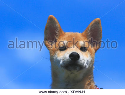 Shiba Inu (Canis lupus f. familiaris), whelp, portrait in front of blue sky, Germany - Stock Photo