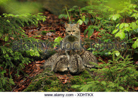European wildcat, forest wildcat (Felis silvestris silvestris), cat sitting on the forest ground and suckling its young animals, Germany, Bavaria, Bavarian Forest National Park - Stock Photo