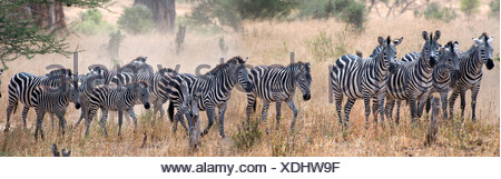 Herd of Zebras in a field, Tarangire National Park, Tanzania - Stock Photo