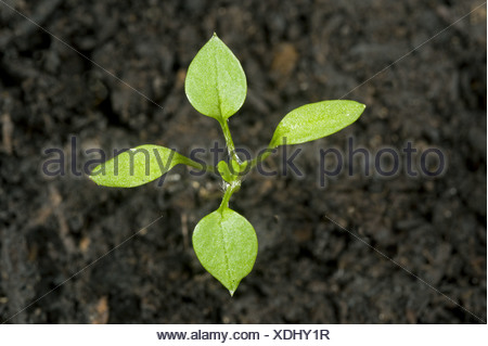 Seedling cotyledons and first true leaves forming of chickweed, Stellaria media, an annual agricultural and garden weed - Stock Photo