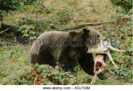 Brown bear (Ursus arctos) walking with prey in its mouth in forest, Bavarian Forest National Park, Bavaria, Germany - Stock Photo