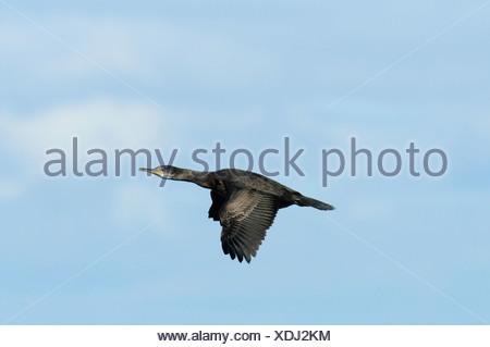 Shag Phalacrocorax aristotelis - Stock Photo