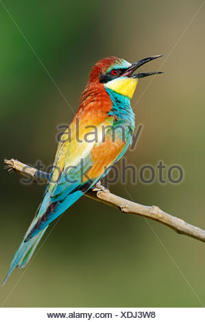 European Bee-eater (Merops apiaster), Central Macedonia, Greece Stock Photo