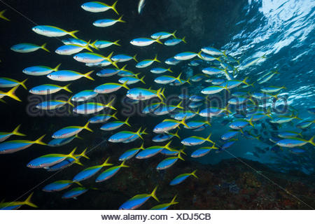 Shoal of Yellowback Fusilier, Caesio teres, Christmas Island, Australia - Stock Photo