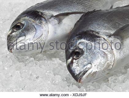 Gilthed Bream,  sparus auratus, Fresh Fish on Ice - Stock Photo