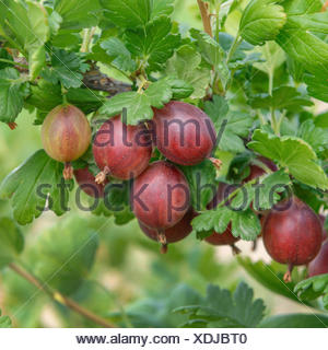 wild gooseberry, European gooseberry (Ribes uva-crispa 'Redeva', Ribes uva-crispa Redeva), cultivar Redeva - Stock Photo