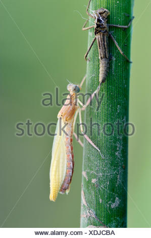 Empty larval case with newly hatched larva, Banded Demoiselle (Calopteryx splendens), metamorphosis, hatching, Bulgaria - Stock Photo