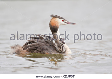 Great Crested Grebe (Podiceps cristatus) with two chicks in plumage - Stock Photo