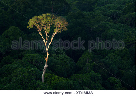 Emergent Menggaris Tree protruding the canopy of lowland Dipterocarp rainforest. Heart of Danum Valley, Sabah, Borneo. - Stock Photo