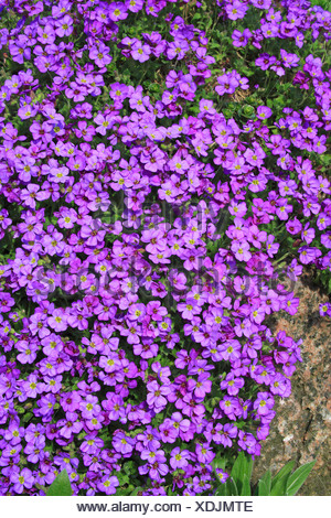 Large-flowered Aubrieta, Rock Cress or Rockcress (Aubrieta x cultorum), flowering, in bloom - Stock Photo