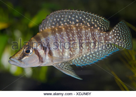 Congo Blackfin (Altolamprologus calvus), swimming - Stock Photo