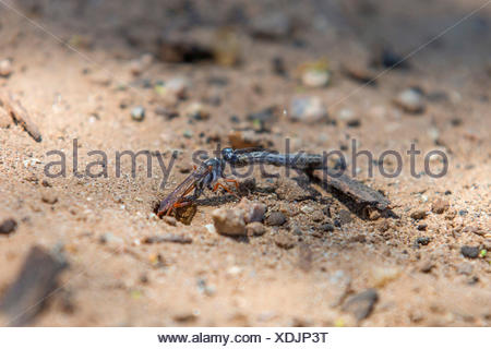 digger wasps, hunting wasps (Sphecidae, Sphegidae), pulling a caterpillar in a prey hiding-place, USA, Arizona, Phoenix - Stock Photo
