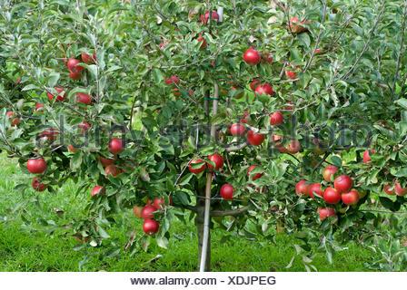 apple tree (Malus domestica 'Coxdwarf', Malus domestica Coxdwarf), cultivar Coxdwarf, apples on a tree - Stock Photo