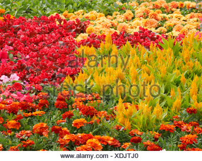 Tatton Flower Show Traditional council planting colourful annuals including Celosia busy lizy and tagetes