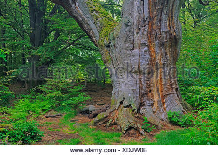 common beech (Fagus sylvatica), 800 years old tree in a forest, Germany, Hesse, Urwald Sababurg, Reinhardswald - Stock Photo