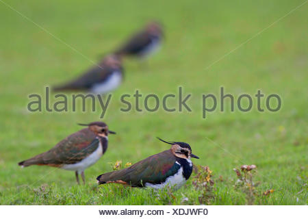 northern lapwing (Vanellus vanellus), adult birds in eclpse plumage in a meadow, Germany, Schleswig-Holstein - Stock Photo