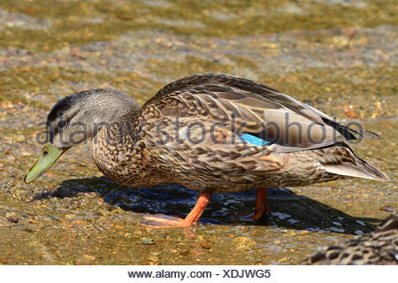 A female mallard in shallow water in Crawford Notch State Park, New Hampshire. - Stock Photo