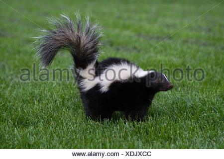 striped skunk - Stock Photo