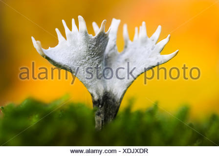 Macro picture of a Candlesnuff fungus in the moss against a yellow background of autumn leaves - Stock Photo