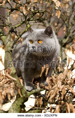 British short hair cat (Felis catus) - Stock Photo