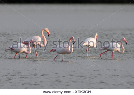 Vijf (5) Europese Flamingo's voortschrijdend in het water op zoek naar voedsel.Five (5) European Flamingoes striding on the water looking for food. - Stock Photo