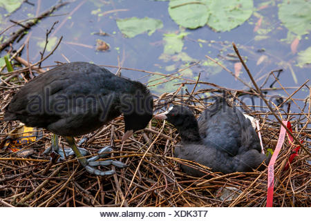 black coot (Fulica atra), couple sitting in nest and grooming, Germany - Stock Photo