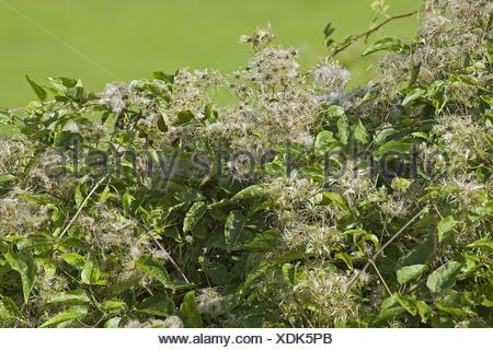 Blackberry Clematis vitalba Old Mans Beard Rose Hip Travellers Joy Warwickshire achenes autumn berries berry blossom climbing - Stock Photo