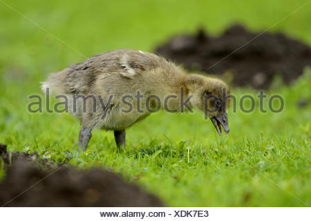 greylag goose (Anser anser), goose chick searching food in a meadow, Germany, Bavaria - Stock Photo