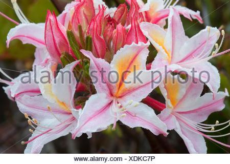 Western azalea (Rhododendron occidentale), Otter Point State Park, Oregon. - Stock Photo