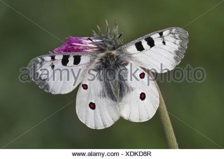 animal animals butterfly butterflies insect insects invertebrate invertebrates arthropod arthropods apollo apollos europe - Stock Photo