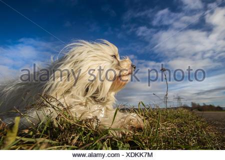 Ein Havaneser liegt in der Wiese und genießt die Wintersonne und Blickt in die Ferne. Im Hintergrund ein schöner blauer Himmel mit ein paar Wolken. - Stock Photo