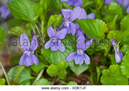 early dog-violet (Viola reichenbachiana), blooming, Germany - Stock Photo
