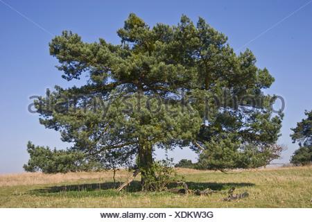 scots pine, pinus sylvestris - Stock Photo