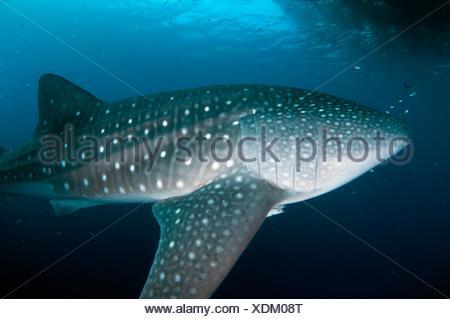 Whale Shark (Rhincodon typus) near fishing raft (Bagan), Cenderawasih (Bird of Paradise) Bay, West Papua, Indonesia. - Stock Photo