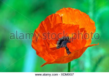 Opium Poppy (Papaver spec.) - Stock Photo