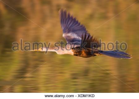 Anhinga (Anhinga anhinga) in mid-flight at Estero Llano Grande State Park in Texas - Stock Photo