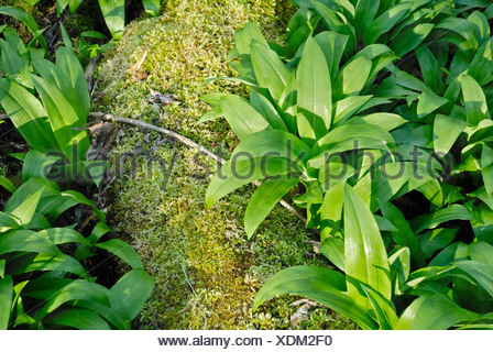 Wild - or Bear's Garlic leaves (Allium ursinum) on a moss-covered tree trunk in Auenwald Forest, Kaltenaue near Bad Feilnbach,  - Stock Photo